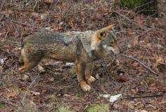 Profil av timmervargen i skogen, Abruzzo Royaltyfri Fotografi