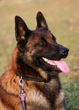 Profil of Belgian shepherd Royalty Free Stock Image