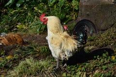 Profil Biały i Czarny Bezpłatny pasmo kurczak obraz stock