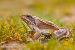 Profil-Bild des beweglichen Frosches (Rana-dalmatina) Lizenzfreie Stockbilder