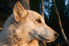 Profil blanc noble de pure race de chien Photo libre de droits