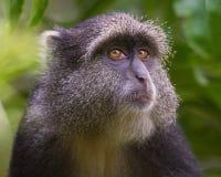 Profil bleu de singe photographie stock