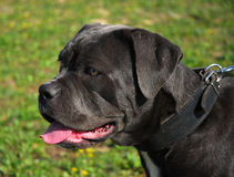 Profil of Cane corso Royalty Free Stock Photo