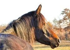 Profil ciemny podpalany Arabski koński patrzeć dobro, zdjęcie royalty free
