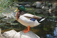 Profil coloré de Mallard près de l'étang Photographie stock