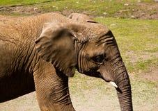 Profil d'éléphant Photo libre de droits