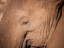 Profil d'éléphant, plan rapproché d'oeil Photographie stock libre de droits