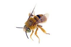 Profil d'abeille d'ours de nounours Photo libre de droits
