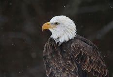 Profil d'aigle chauve Images stock