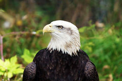 Profil d'aigle chauve Photographie stock libre de droits