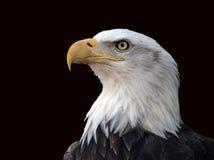 Profil d'aigle chauve Image libre de droits