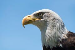 Profil d'aigle chauve regardant à gauche Images stock