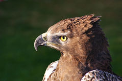 Profil d'aigle de serpent de Brown Photographie stock libre de droits