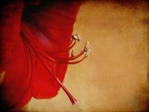 Profil d'Amaryllis Flower rouge pour les vacances Image libre de droits