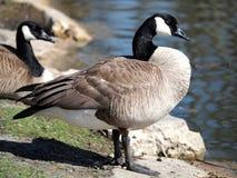 Profil d'oie de Canada sur la banque de l'étang Image libre de droits