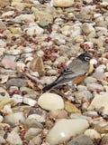 Profil d'oiseau snacking de l'Ohio images libres de droits