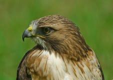 Profil d'Osprey Image stock