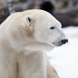 Profil d'ours blanc image libre de droits