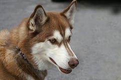 Profil d'un Brown et d'un Huskey blanc Image stock