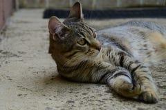 Profil d'un chat de tigre avec les yeux jaunes se trouvant sous la voiture, chat du côté gauche de photo image stock