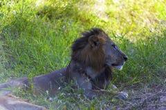 Profil d'un lion Photo libre de droits