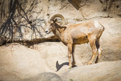 Profil d'un mouflon d'Amérique de désert Photo libre de droits