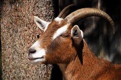 Profil d'un mouton avec de grands klaxons Photographie stock