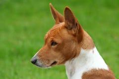 Profil de Basenji Image stock