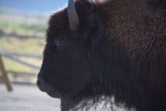Profil de bison Images stock