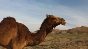 Profil de chameau Arabe photographie stock libre de droits