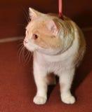 Profil de chat de Munchkin Photo stock