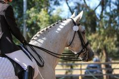 Profil de cheval de dressage Photo stock