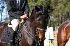Profil de cheval de Showjumping Photo stock