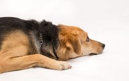 Profil de chien d'isolement sur le blanc Photos libres de droits