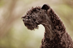 Profil de chiot de chien terrier de bleu de Kerry Images libres de droits