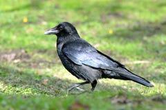 Profil de corneille de charogne (corone de Corvus) avec les plumes brillantes Photo stock