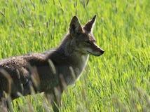 Profil de coyote Photographie stock libre de droits