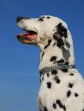 Profil de Dalmate Photo stock
