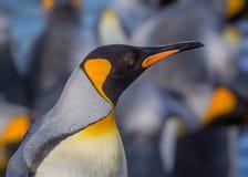 Profil de droite de pingouin de roi avec le fond brouillé Photo libre de droits