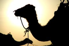 Profil de dromadaires. Erg Chebbi, Sahara, Maroc photos libres de droits