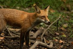 Profil de Fox Photographie stock