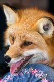 Profil de Fox rouge Photo libre de droits