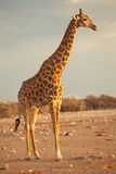 Profil de giraffe Image stock
