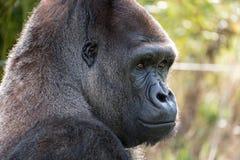 Profil de gorille de plaine occidentale, silverback de mâle adulte Photographié au port Lympne Safari Park près d'Ashford Kent R- photo libre de droits