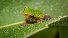 Profil de grenouille se reposant sur une feuille photos stock
