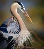 Profil de héron de grand bleu avec les plumes pelucheuses Photo stock