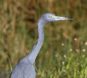 Profil de héron de petit bleu Image stock