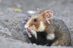 Profil de hamster de champ, main-Wash&quo Photographie stock libre de droits