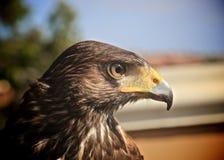 Profil de Harris Hawk photo stock