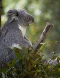 Profil de koala dans l'arbre Photos stock